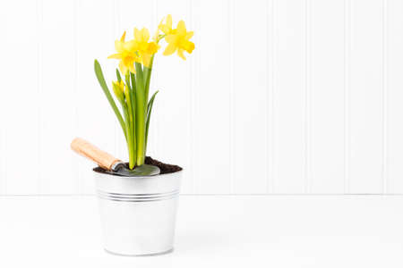 clump: Clump of beautiful spring daffodils in a silver metal pot.