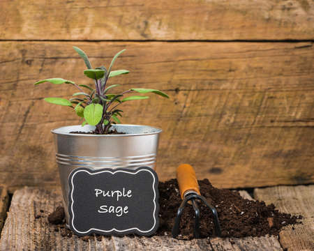 purple metal: Purple sage, a herb, planted in a metal container on a rustic background.