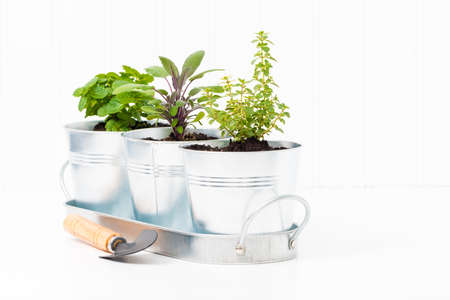 herb garden: Small herbs in a metal container to create a small indoor herb garden.