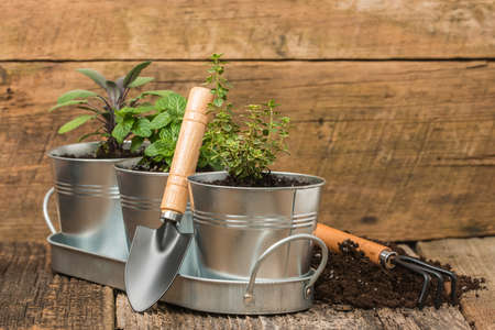 herb garden: Small herbs planted into small metal containers to create an indoor herb garden.