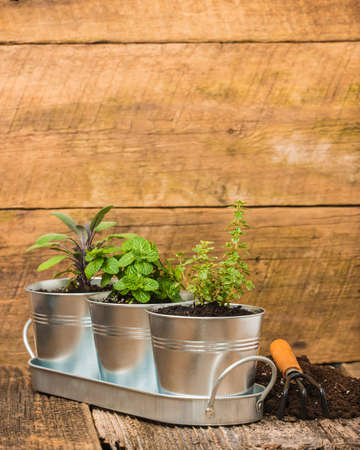 herb garden: Small herbs in metal containers to create an indoor herb garden. Stock Photo