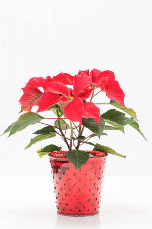ample: Red potted poinsettia against a background with ample copy space.