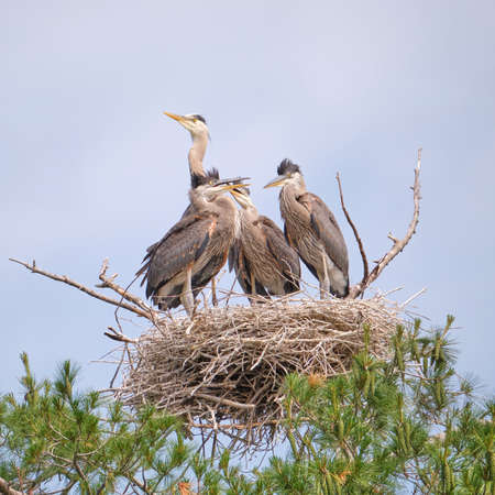 Female Great Blue Heron and her three chicks in a nest in a pine tree in Kawartha Lakes Ontario.