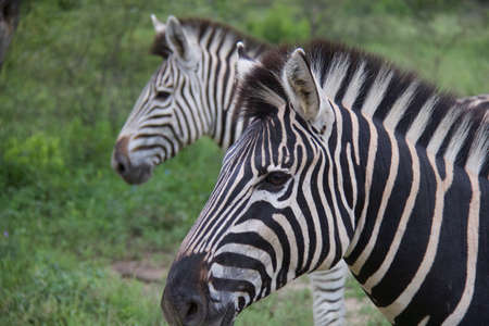 contrasting: Two zebras with contrasting coloring. One with a black emphasis the other with white empahsis Stock Photo