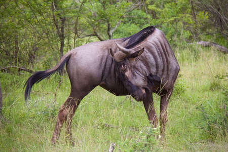 wildebeest: Wildebeest scratching an itch on its side Stock Photo