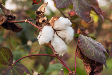 Cotton bolls growing on the tree close up view Imagens