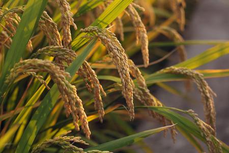 Mature rice
