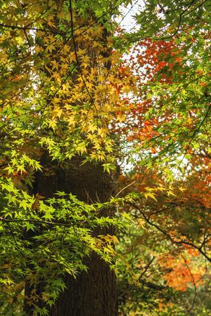 Maple in autumn Imagens