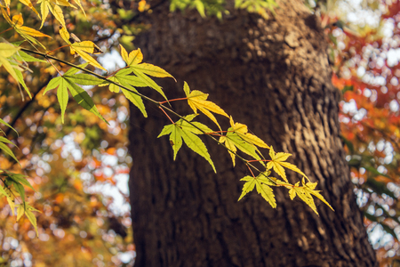 Maple leaves in autumn close up view
