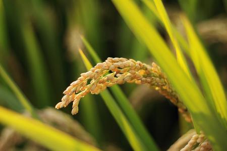 Mature rice close up view