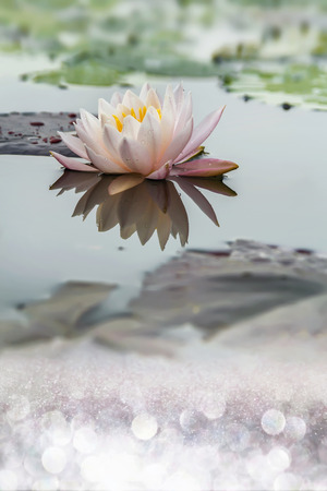 A white water lily Imagens