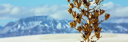 alamogordo: A dried winter Yucca plant in the New Mexico desert.