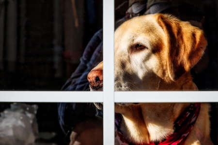 A Yellow Labrador looking out the window keeping a watchful eye. Stock Photo
