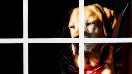 A Yellow Labrador catching some warm morning sun through a window.