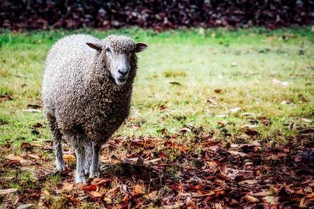 A sheep, under a tree on an autumn day, near Williamsburg, Virginia Stock Photo