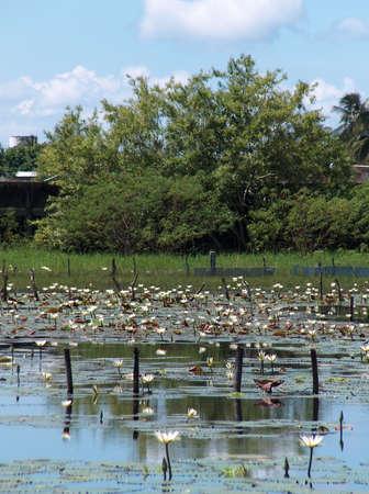 lily pad lagoon