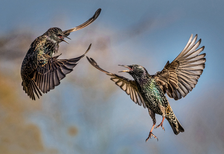 food fight: Two starlings fighting over food. Stock Photo