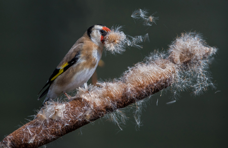 bullrush: Goldfinch collecting nesting material on a bullrush.