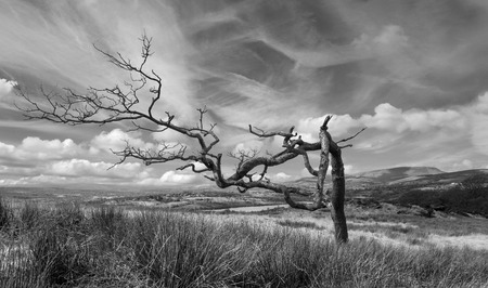 lancashire: Old tree on Noyna hill with Pendle hill Lancashire