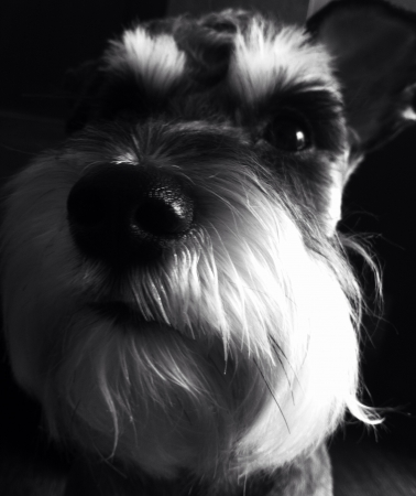 otganimalpets01: Miniature Schnauzer  Stock Photo