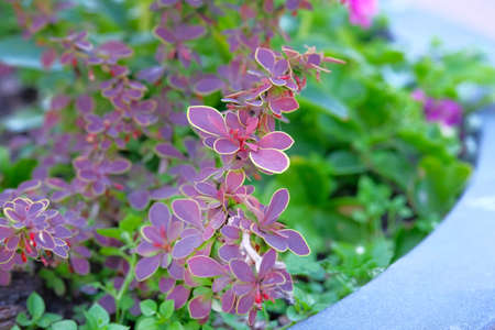 Burgundy plants in pot in patio garden, close up, diagonal view. Landscaping. 免版税图像