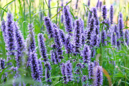 Purple summer flowers on blurred background of green grass. Hyssop of violet color.Hyssopus officinalis