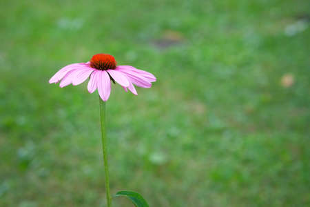 Pink Echinacea flower on green blurred nature background close up. Minimalism. Stock Photo