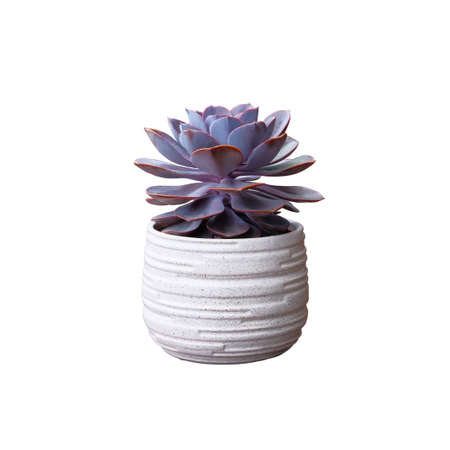 Purple succulent house plant in white pot isolated on white background.