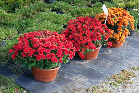 Garden shop with flowers. Bushes with red and orange chrysanthemums in pots in garden store. Nursery of plant and trees for gardening. Foto de archivo
