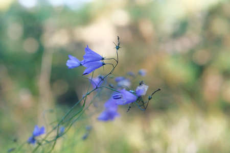 Blue gentle forest bells on blurred background of green plants. Campanula rotundifolia harebell macro in forest.