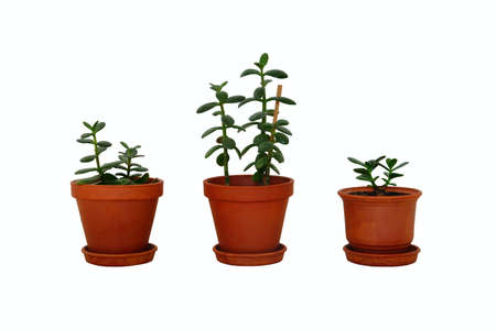 Pots with houseplant for home. Crassula ovata jade plants, money trees. Collage with juicy green Crassula in ceramic brown pots, isolated on white background. Standard-Bild