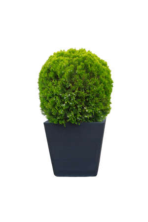 Thuja occidentalis danica for landscape design. Bush isolated on white background. Cypress is grow in large grey outdoor pot. Coniferous trees.