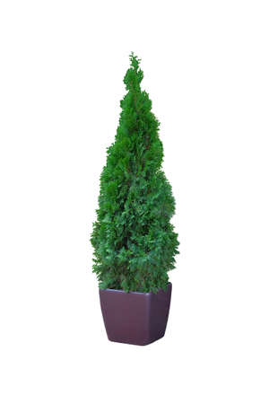 Thuja occidentalis danica, isolated on white background. Cypress in outdoor pot. Coniferous trees.