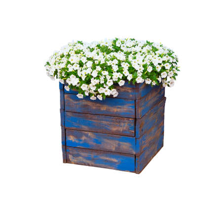 Pot with bush of blooming plant for landscape design. Bush with many small white flowers in blue wooden flower pot. Isolated on white background.