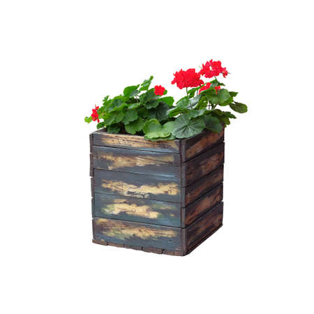 Pot with bush of blooming plant for landscape design. Geranium. Bush with red flowers in wooden flower pot, isolated on white background.
