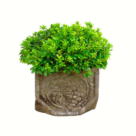 Pot with bush of green plant for landscape design, isolated on white background. Potted plant with fresh juicy leaves. Container gardening. Stock Photo