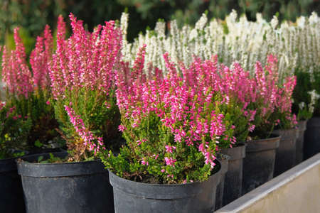 Seedlings of pink and white heather bushes in pots in garden store. Nursery of various green plants for gardening. Heather bushes in garden shop.