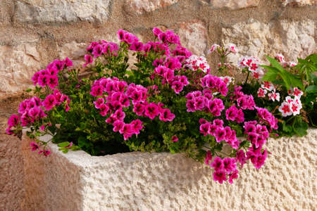 Geranium. Pot with bushes of blooming plants. Landscape design. Bushes with white and purple flowers in light ceramic flower pot.