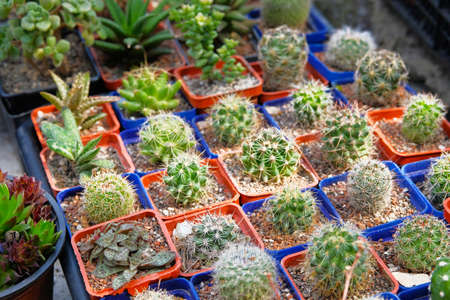Cactuses and other plants in small pots in garden shop. Green cactuses sold in store. Plants for green house.