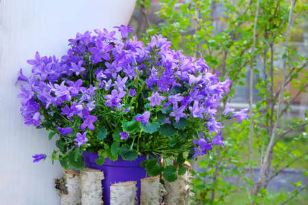 Campanulas is blossom in pot, close up. Blue or violet flowers bells is growing in garden.