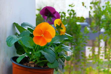 Viola is blossom in pot, close up. Orange and purple flowers is growing in garden. Landscaping and decoration.