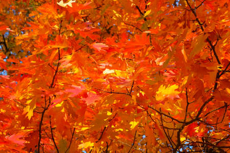 Autumn forest landscape on a sunny day with oak leaves background. Orange and red autumn leaves background.