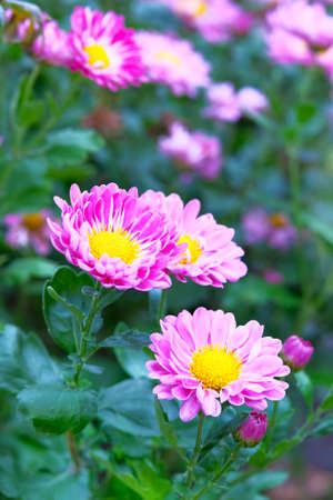 Chrysanthemums in botanical park. Purple flowers chrysanthemums in autumn, annuals. Vertical view, close up.