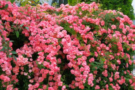 Rosa blühender Rosenbusch. Rosenhintergrund im Blumengarten. Bulgarisches aromatisches Rosental. Standard-Bild