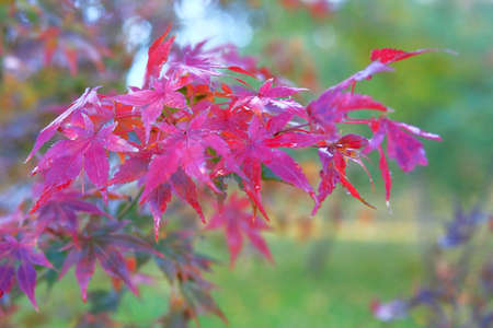 Red maple leaves on blurred background, Bright autumn concept. Rainy weather.