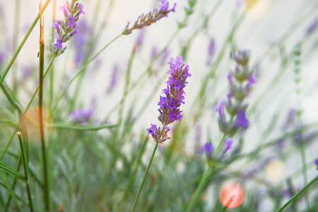 Purple Lavender flowers on green nature background during the day. Bright violet flowers in meadow.