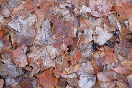 Brown maple leaves. Landscape in forest in late autumn, warm weather. Fall background concept. Top view.