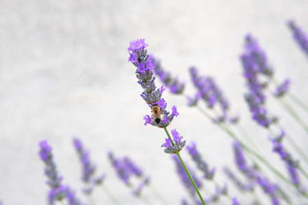 Purple Lavender flowers and bee on green nature blurred background. Viole Lavandula for herbalism.