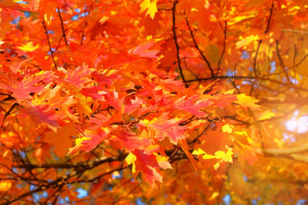 Oak red foliage. Leaves in nature, autumn. Sunny day, warm weather. Sunlight.