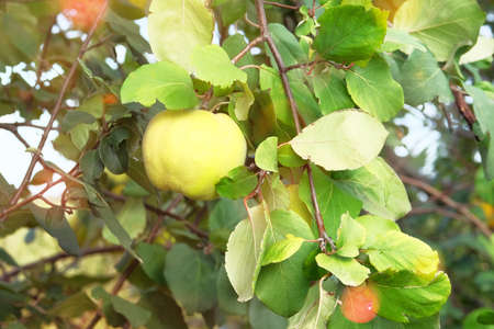 Ripe fruits of quince in nursery. Quince on branch on tree in fall. Harvest in autumn. Sunny day. Close up.